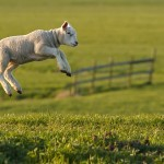 leaping lamb