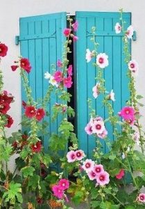 hollyhocks on blue shutters
